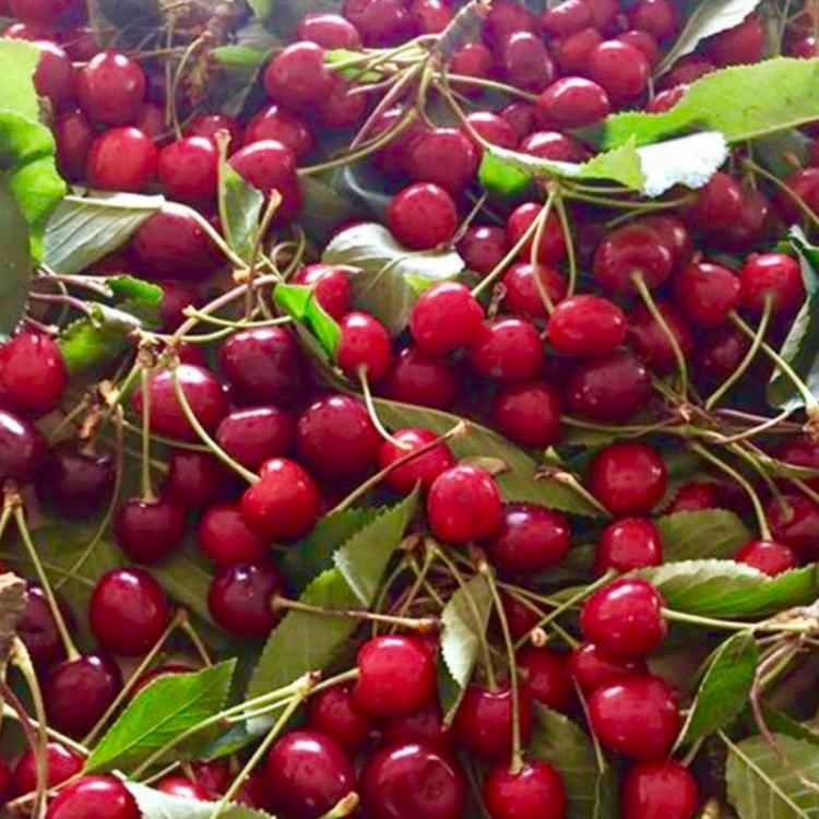 Le ciliegie fresche che passione
