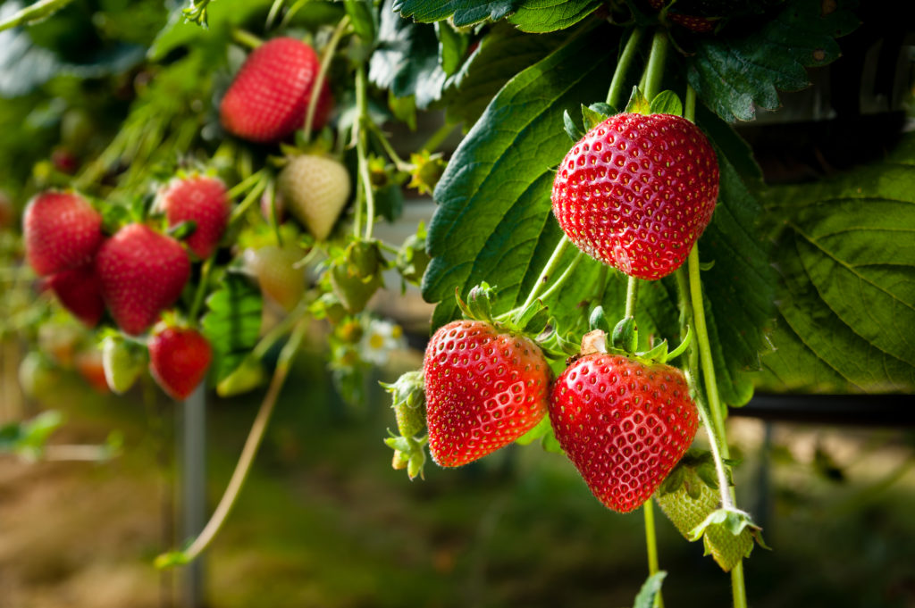 fragole in natura